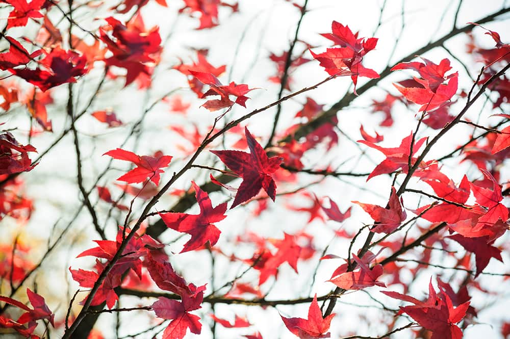 Liquidambar styraciflua herfstkleur