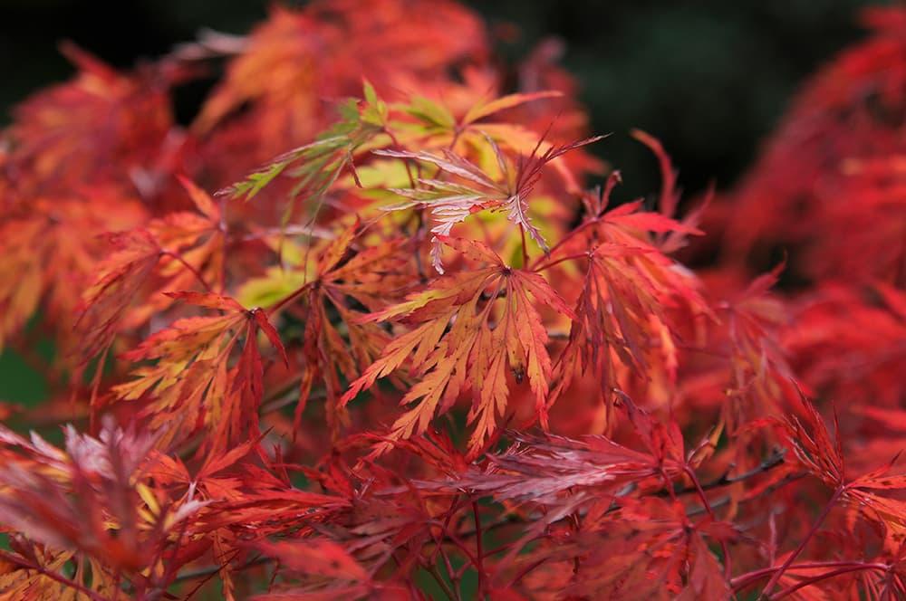 Acer palmatum dissectum herfstkleur