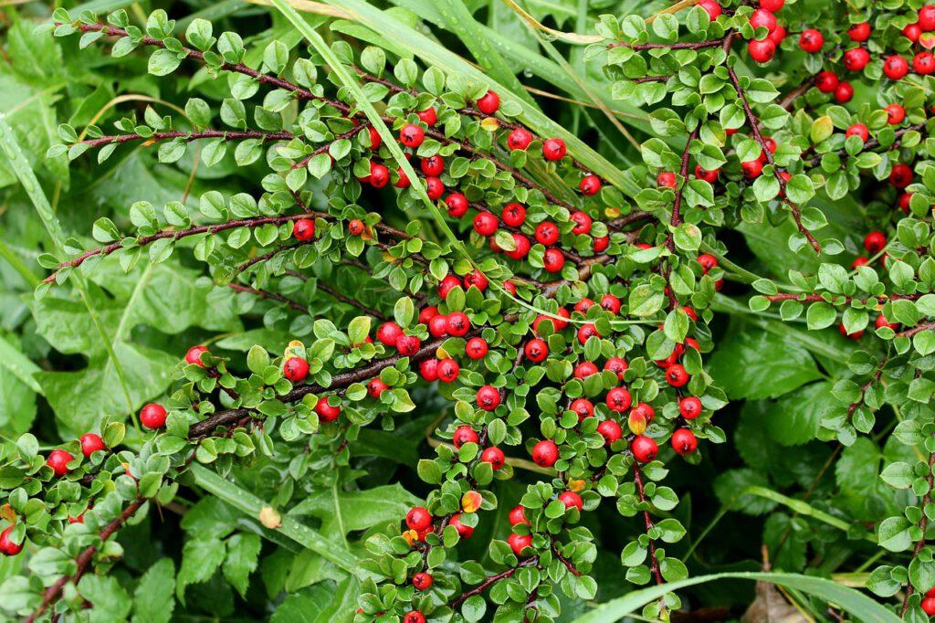 Dwergmispel (Cotoneaster) zelf zaaien in het najaar
