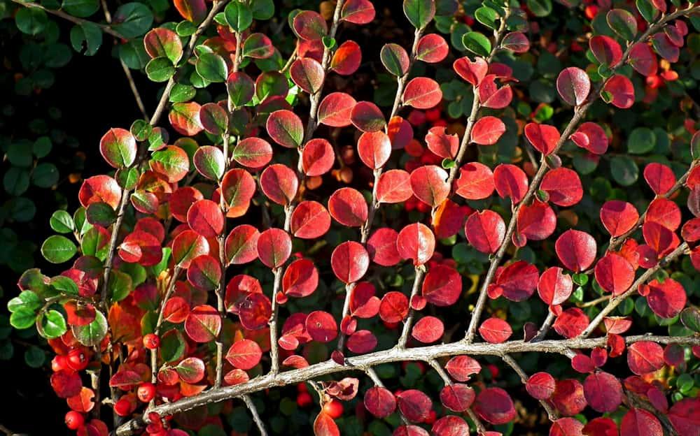 Cotoneaster herfstkleur