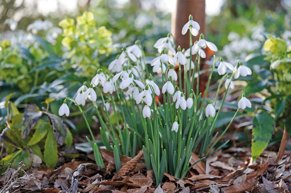 Sneeuwklokjes zijn klassieke winterbloemen.