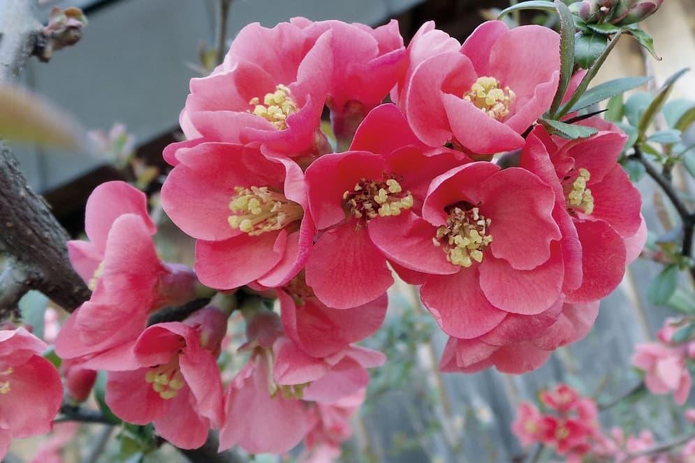 Sierkwee bloeit in de wintertuin.