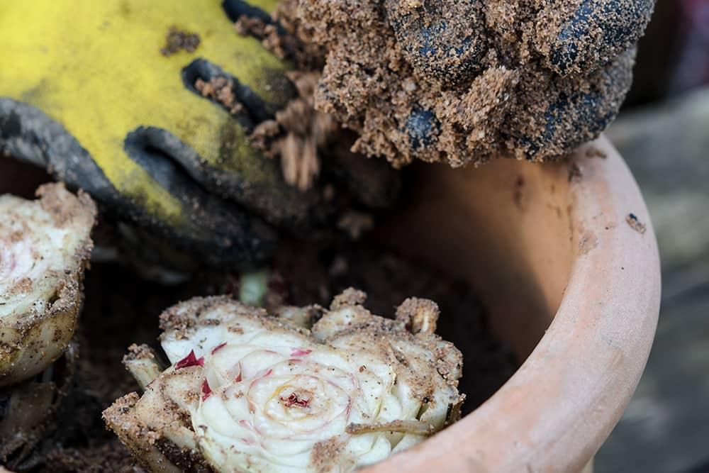 Poot de witlof wortels in een pot of emmer.