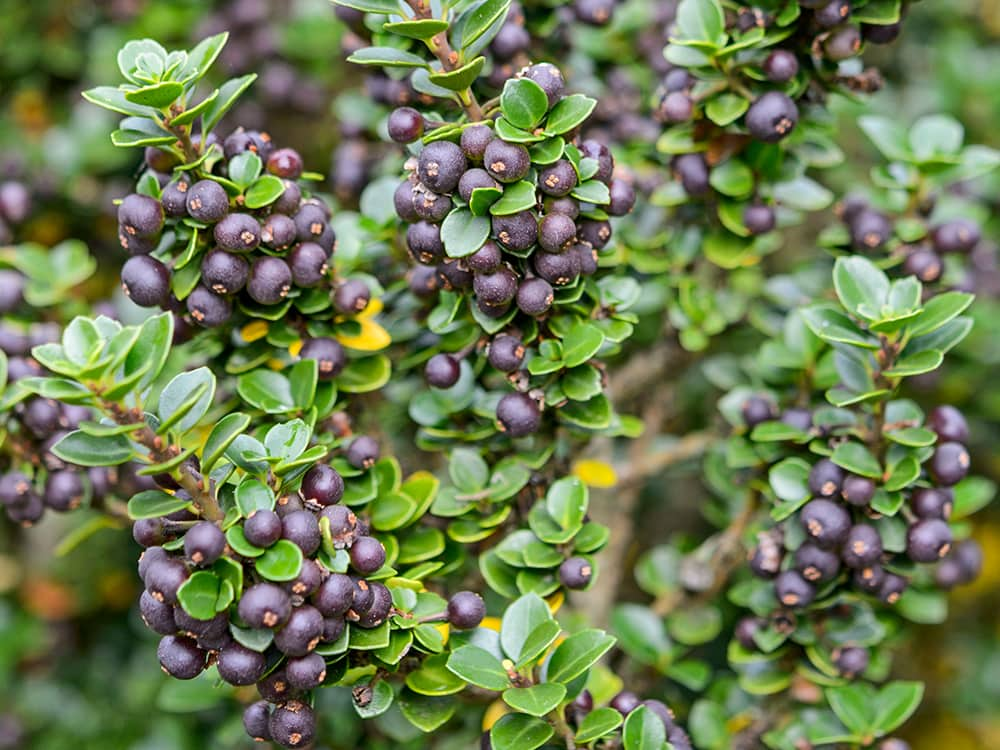 Ilex crenata is een goede vervanger voor buxus.