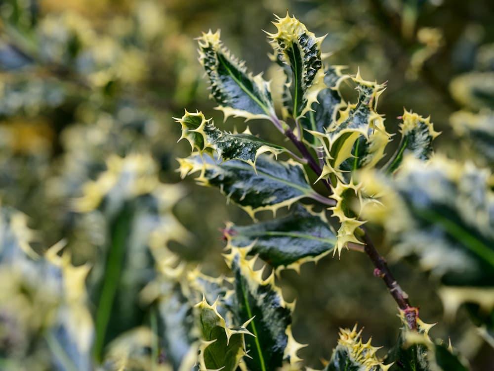 Ilex aquifolium 'Ferox Argentea' is een bontbladige hulst