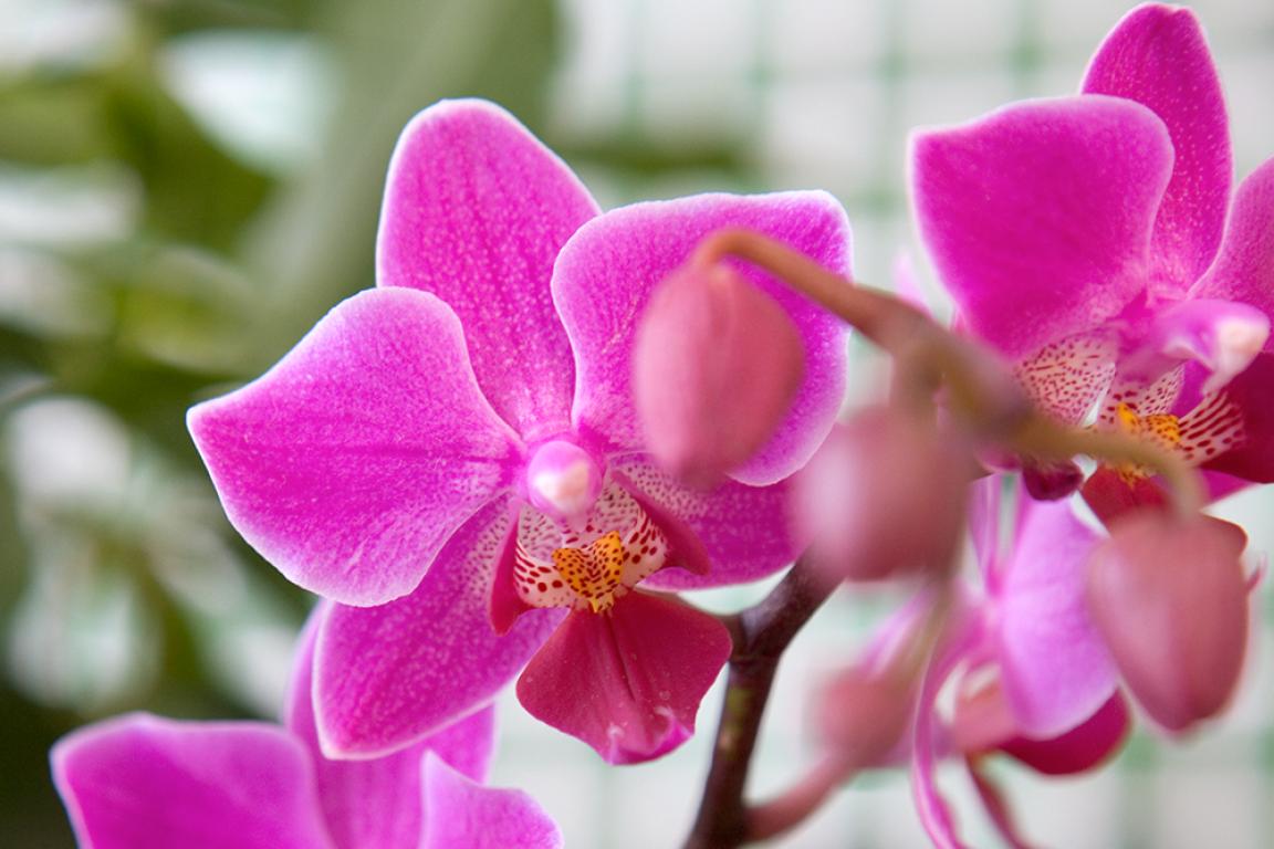 Vlinderorchidee (Phalaenopsis) © Sarah Cuttle
