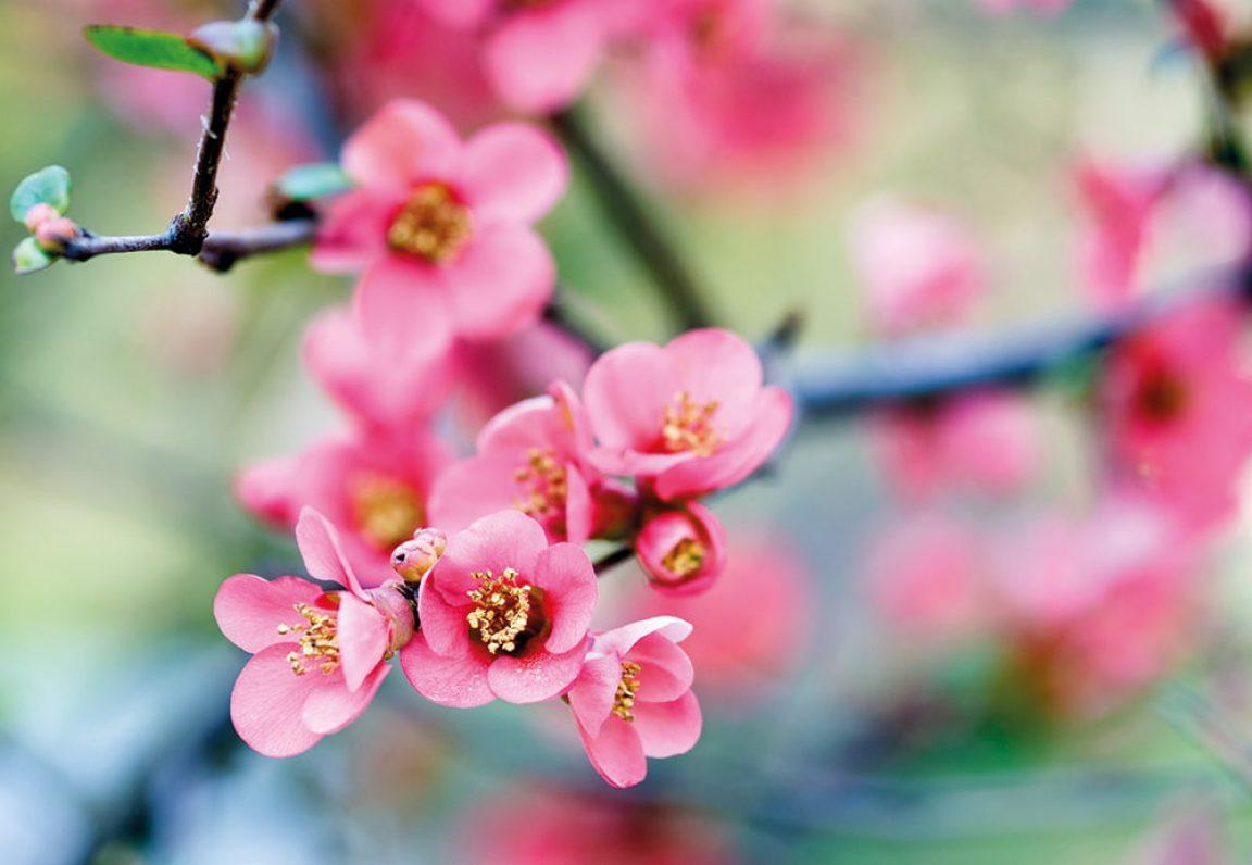 Sierkwee Chaenomoles kleur in je wintertuin