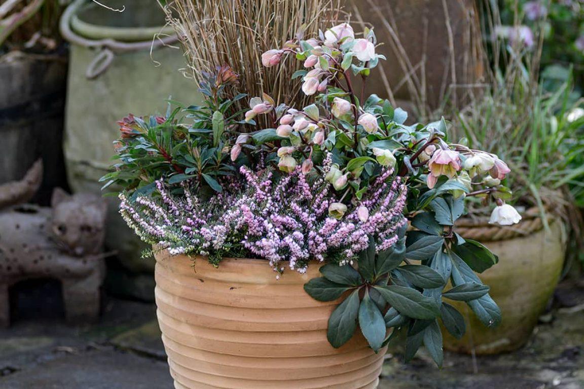 Winterse bloempot met Helleborus