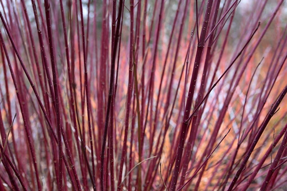 Canadese kornoelje Cornus sericea 'Cardinal'
