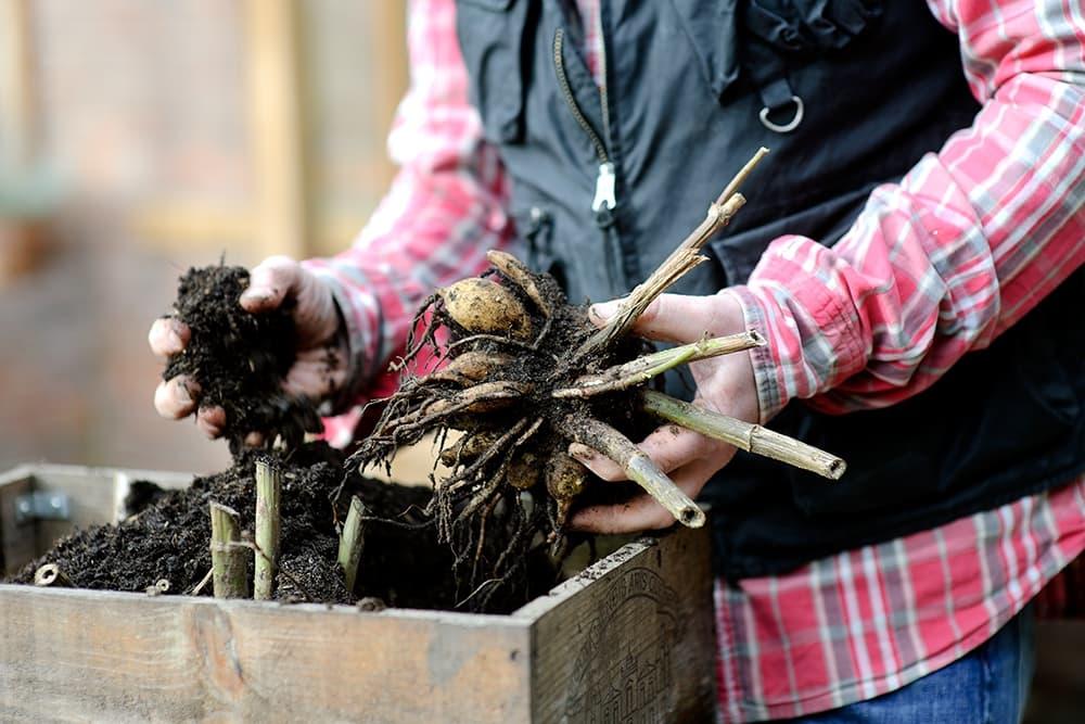 Laat dahlia's overwinteren in een bak