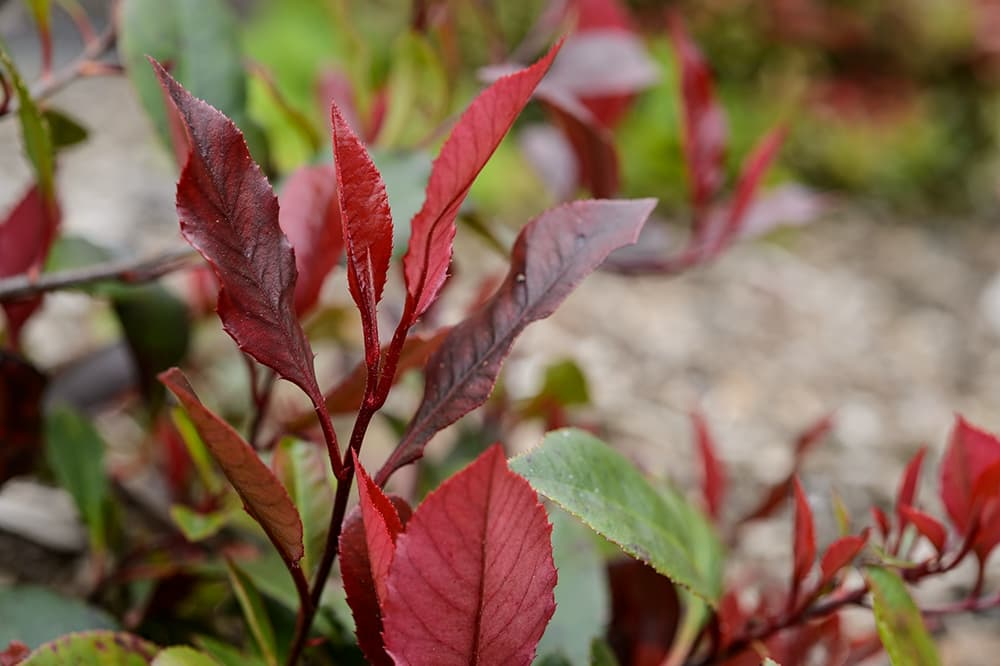 Glansmispel (Photinia x fraseri 'Red Robin')