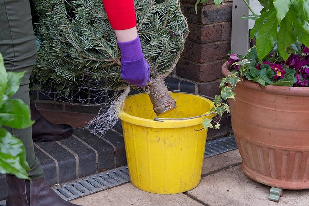 Je kerstboom langer mooi houden door hem in een emmer water te zetten
