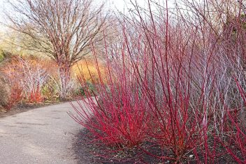 Kornoelje heeft prachtig gekleurde wintertakken