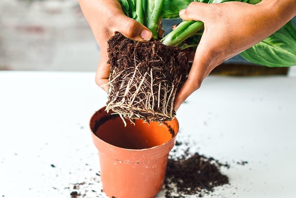 Lepelplant uit de pot halen