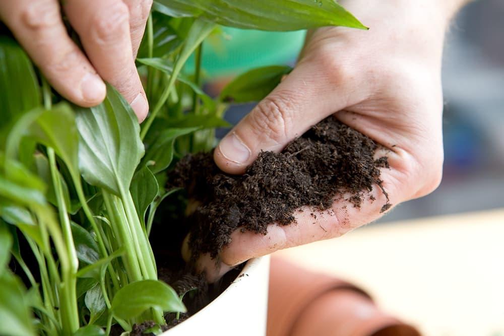 Zet de stukken lepelplant in een neiuwe pot
