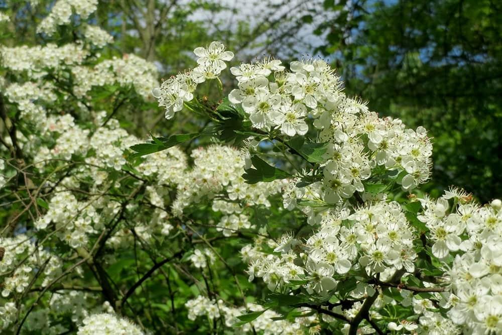 Diervriendelijkse hagen plant je met de meidoorn