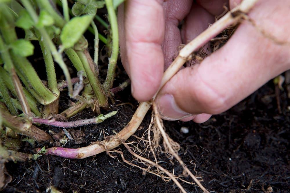 Kies voor het planten stekken de juiste wortels