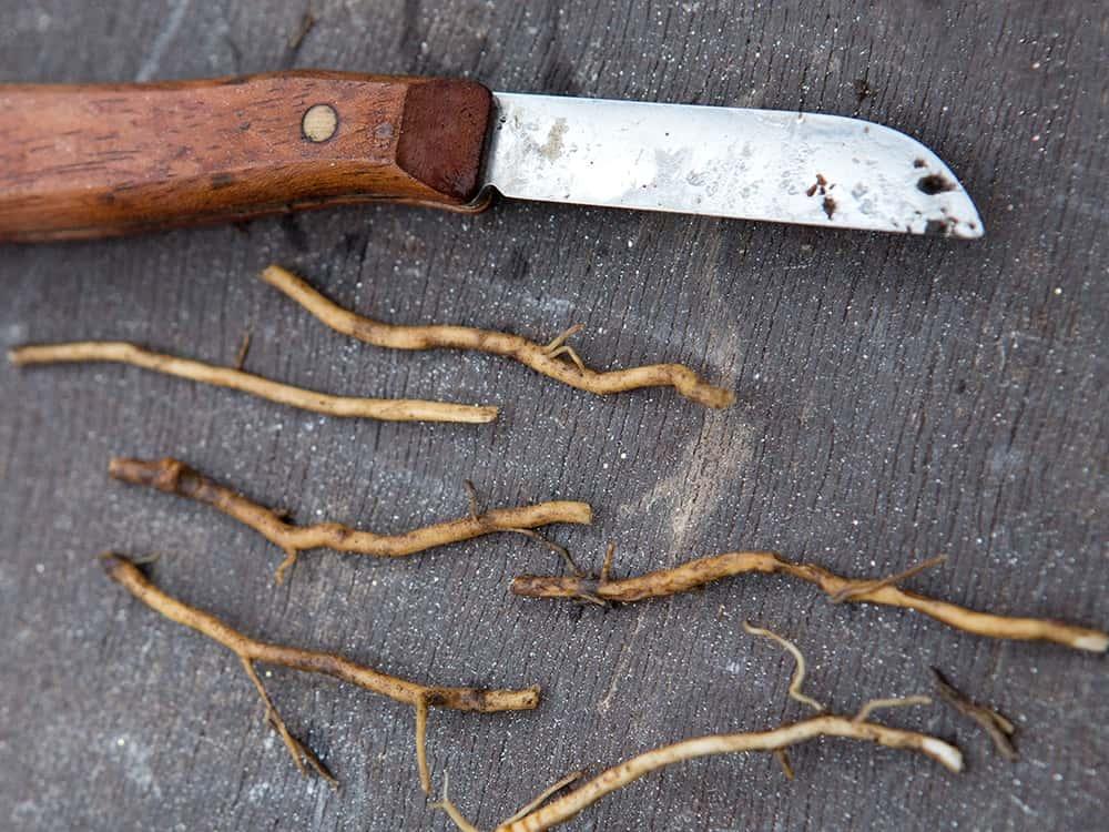 Snijd de wortel voor het planten stekken in stukjes