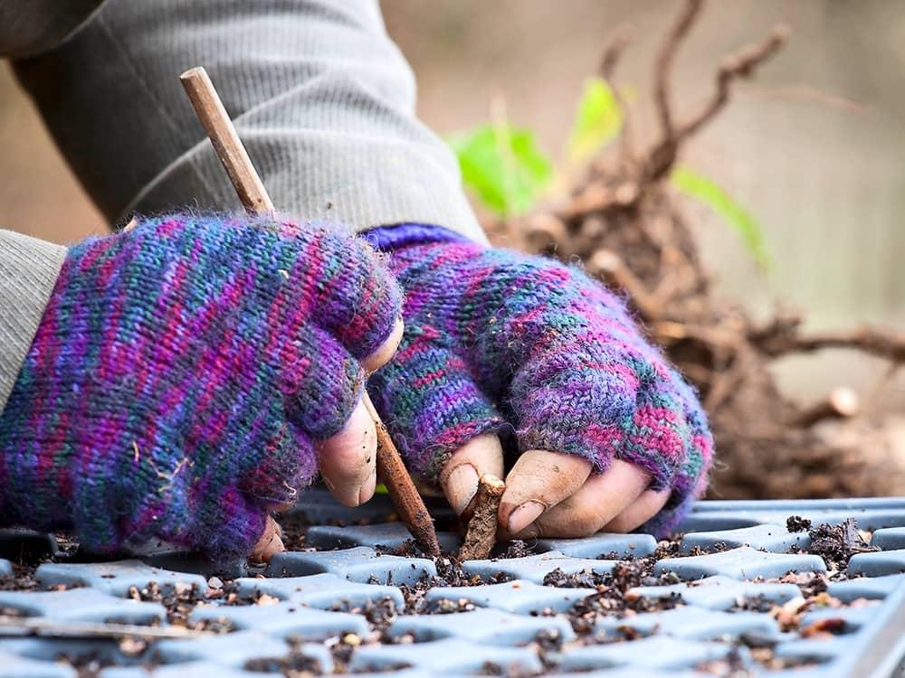Plant de wortelstekken in zaaitrays