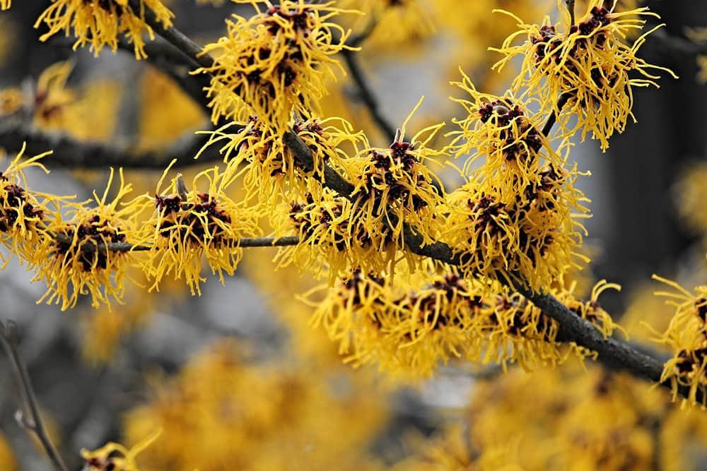 Hamamelis (toverhazelaar) krijgt prachtige winterbloemen.