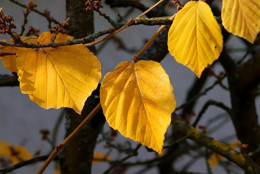 Het blad van de toverhazelaar kleurt in de herfst geel
