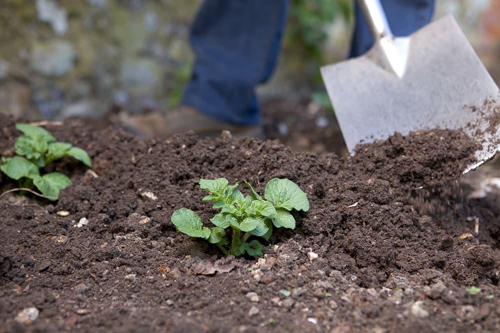 Aanaarden bij het aardappelen kweken.