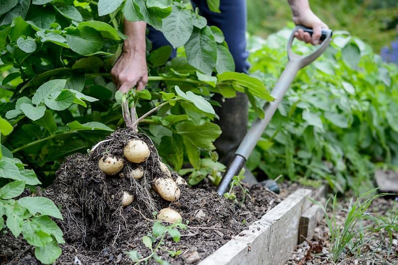Haal je aardappelen uit de grond.