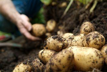 aardappelen kweken in de volle grond