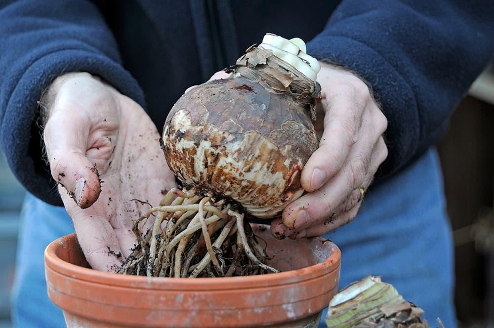 checklist januari: zet amaryllis bollen in een pot