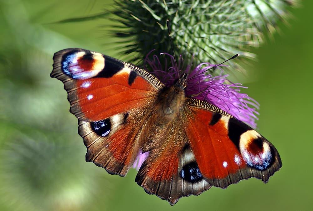 Vlinders op de muur lijken soms op blaadjes.