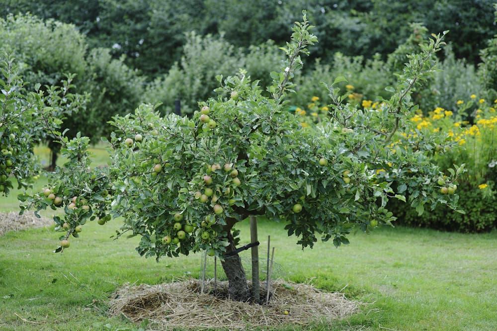 Een fruitboom in een gazon