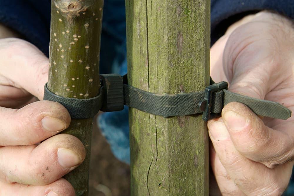 Bind de fruitboom vast met een boomband.