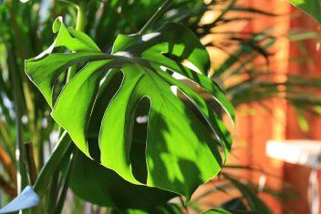 gatenplant Monstera deliciosa