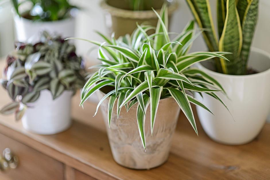 Graslelie (Chlorophytum comosum 'Ocean'