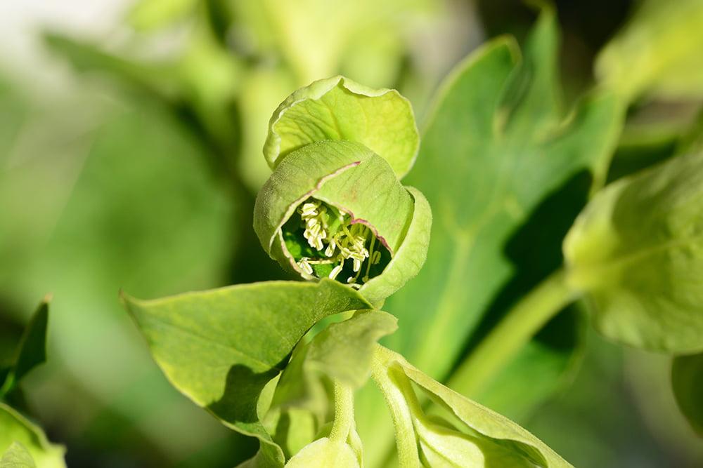 Helleborus foetidus (stinkend nieskruid)
