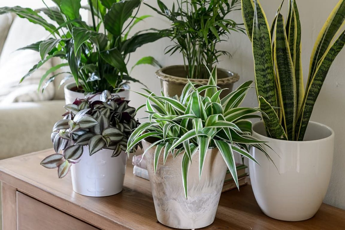 kamerplanten voor in de schaduw