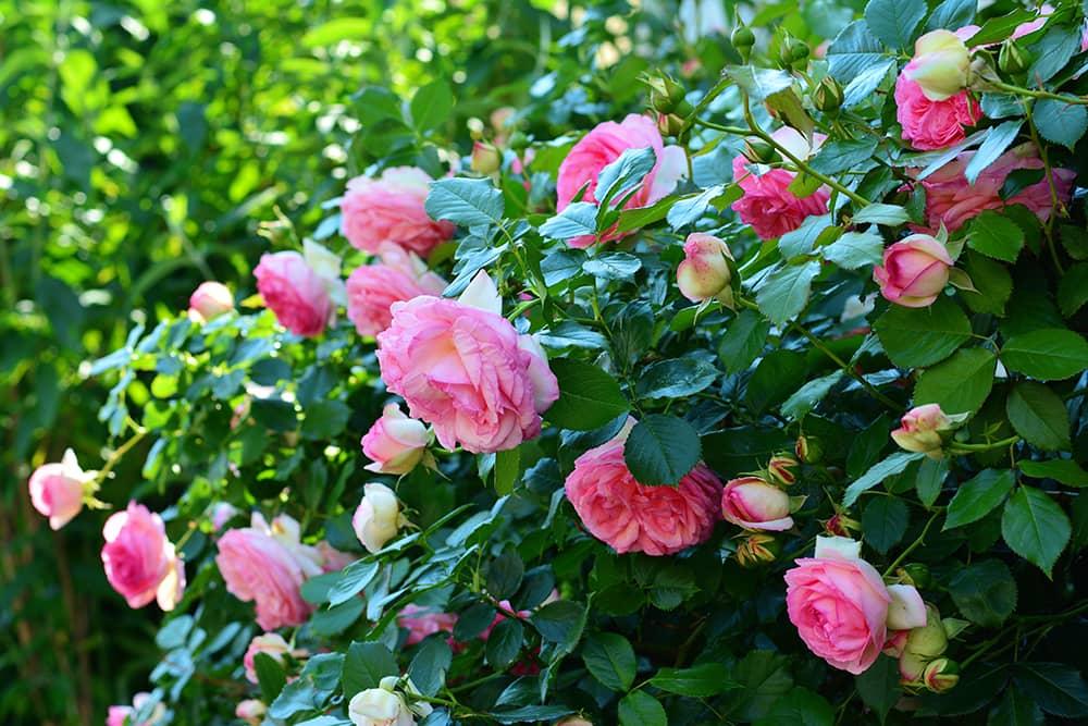 rozen doen het goed op kleigrond