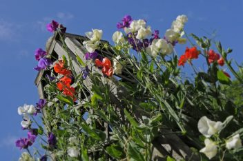 Lathyrus zaaien in de winter