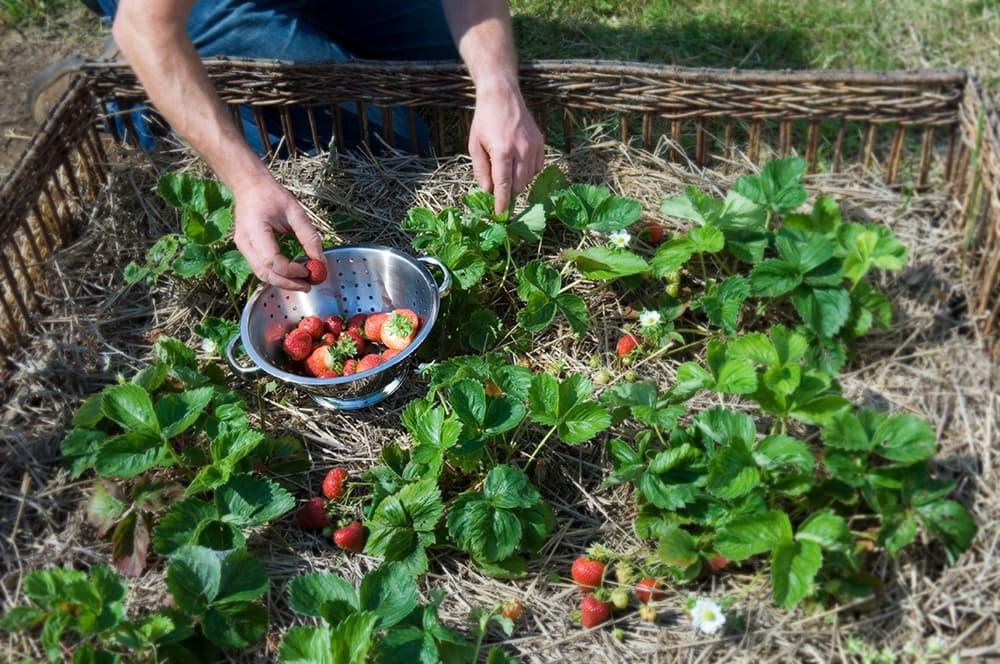 Aardbeien zijn makkelijk te verbouwen en bovendien erg lekker.