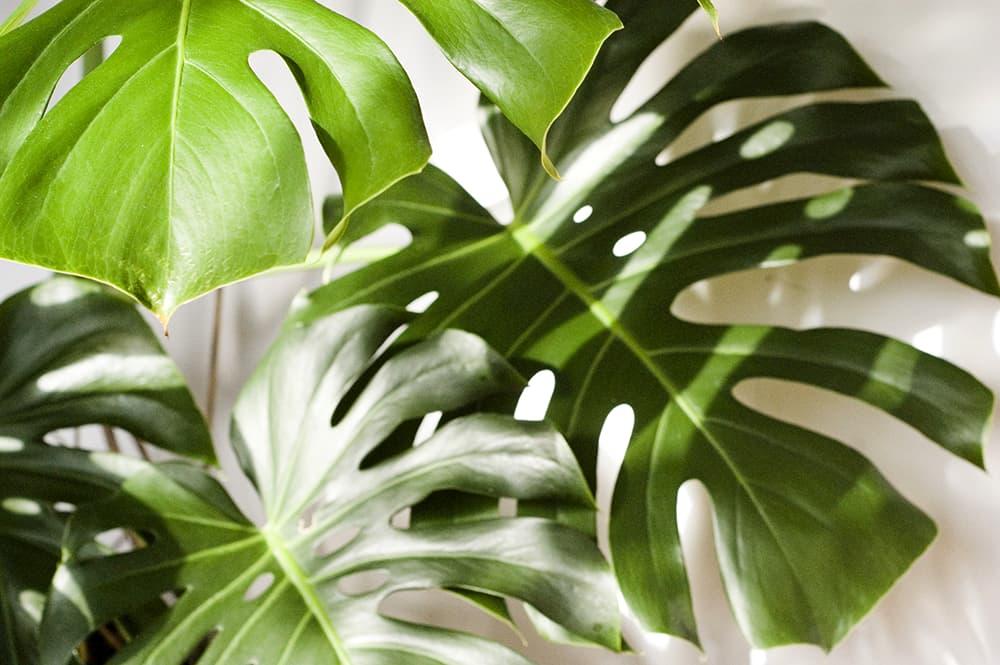 Houd de gatenplant uit het directe zonlicht.