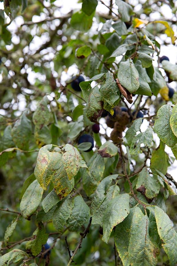 Fruitbomen snoeien op het verkeerde moment kan leiden tot ziektes.