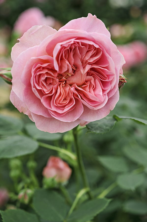 Rosa 'Boscobel' is een heerlijke geurende roos.