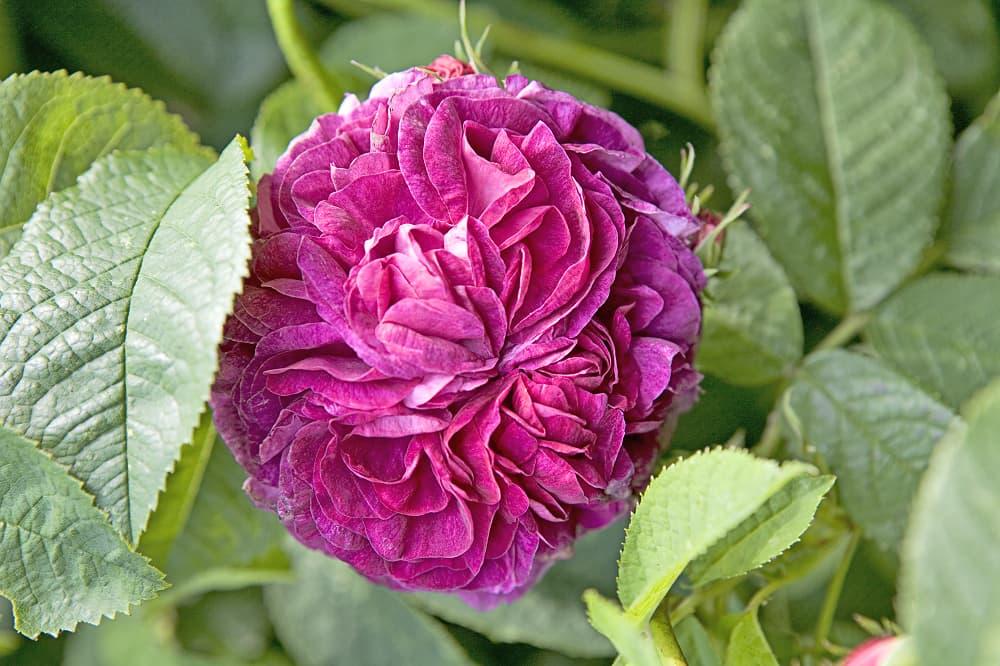 Rosa 'Charles de Mills' is een topper onder de geurende rozen.