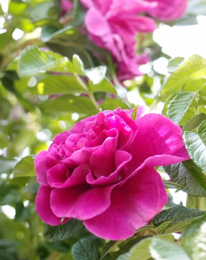 Rosa rugosa 'Roseraie de l'Hay' is een sterke plant onder de geurende rozen.