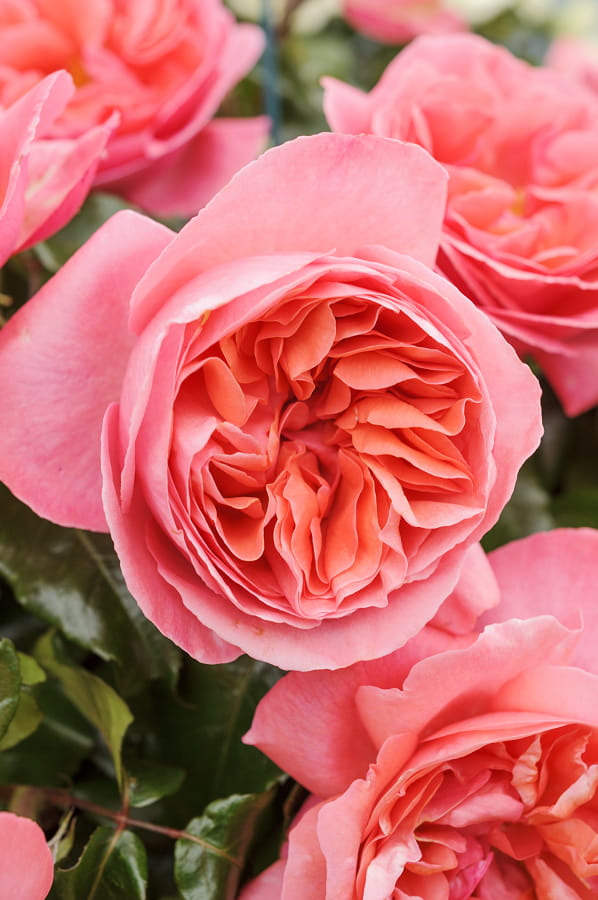 Rosa 'Special Anniversary'