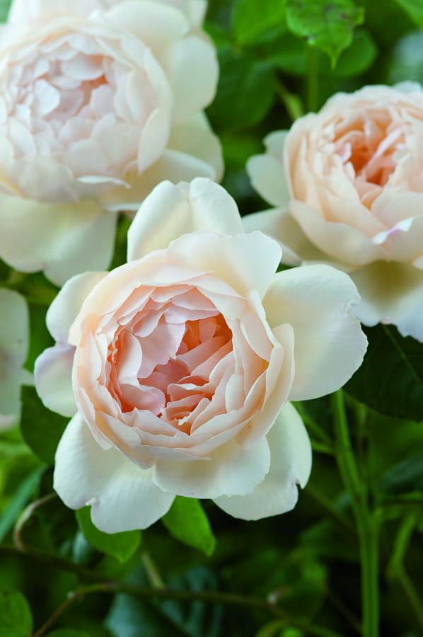 Geurende rozen: Rosa 'Wollerton Old Hall'