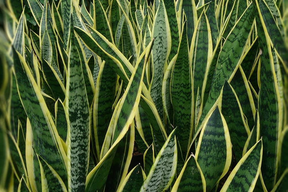 Vrouwentong (Sansevieria trifasciata 'Laurentii')