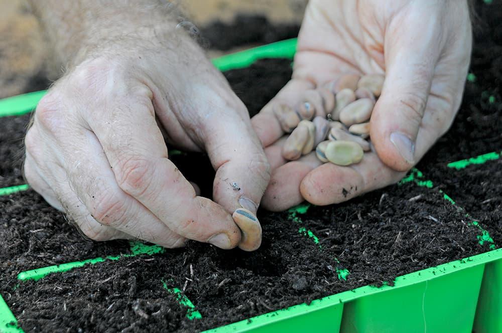 Zaai tuinbonen op de juiste diepte