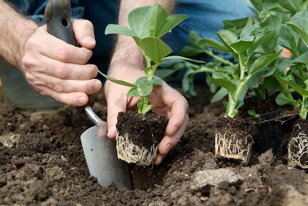plant de tuinbonen uit