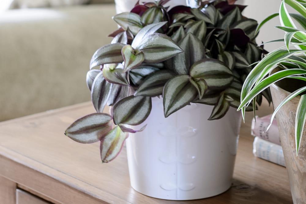 Vaderplant (Tradescantia zebrina)